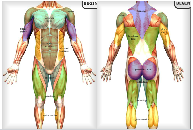 muscular system - thgs pass, Muscles